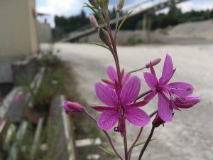 Pflanze Rosmarin Weidenroesschen